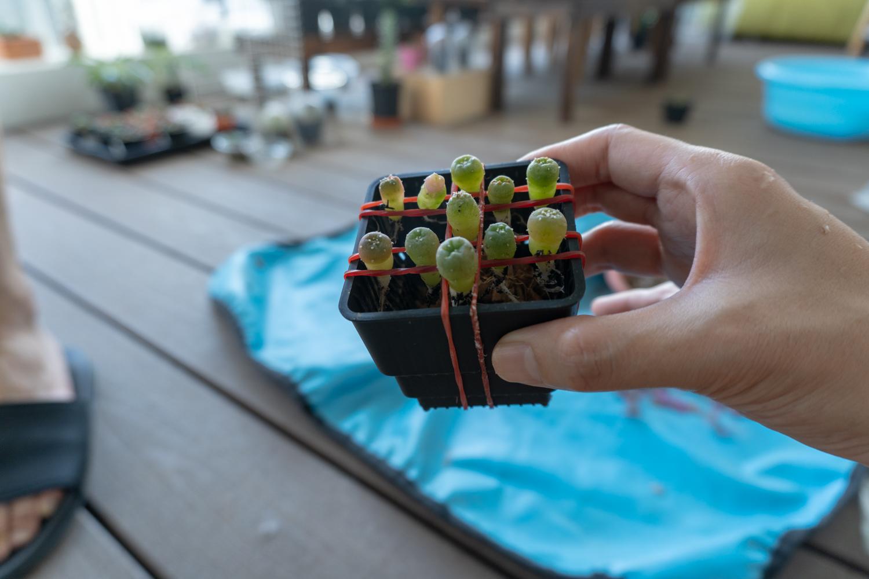 Easy way to re-pott Lophophora seedlings