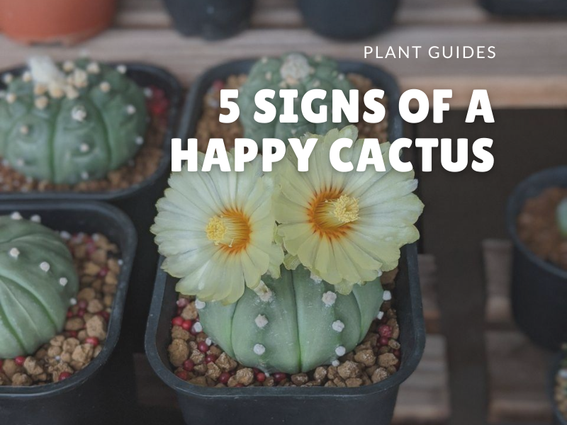 5 signs of a happily growing cactus