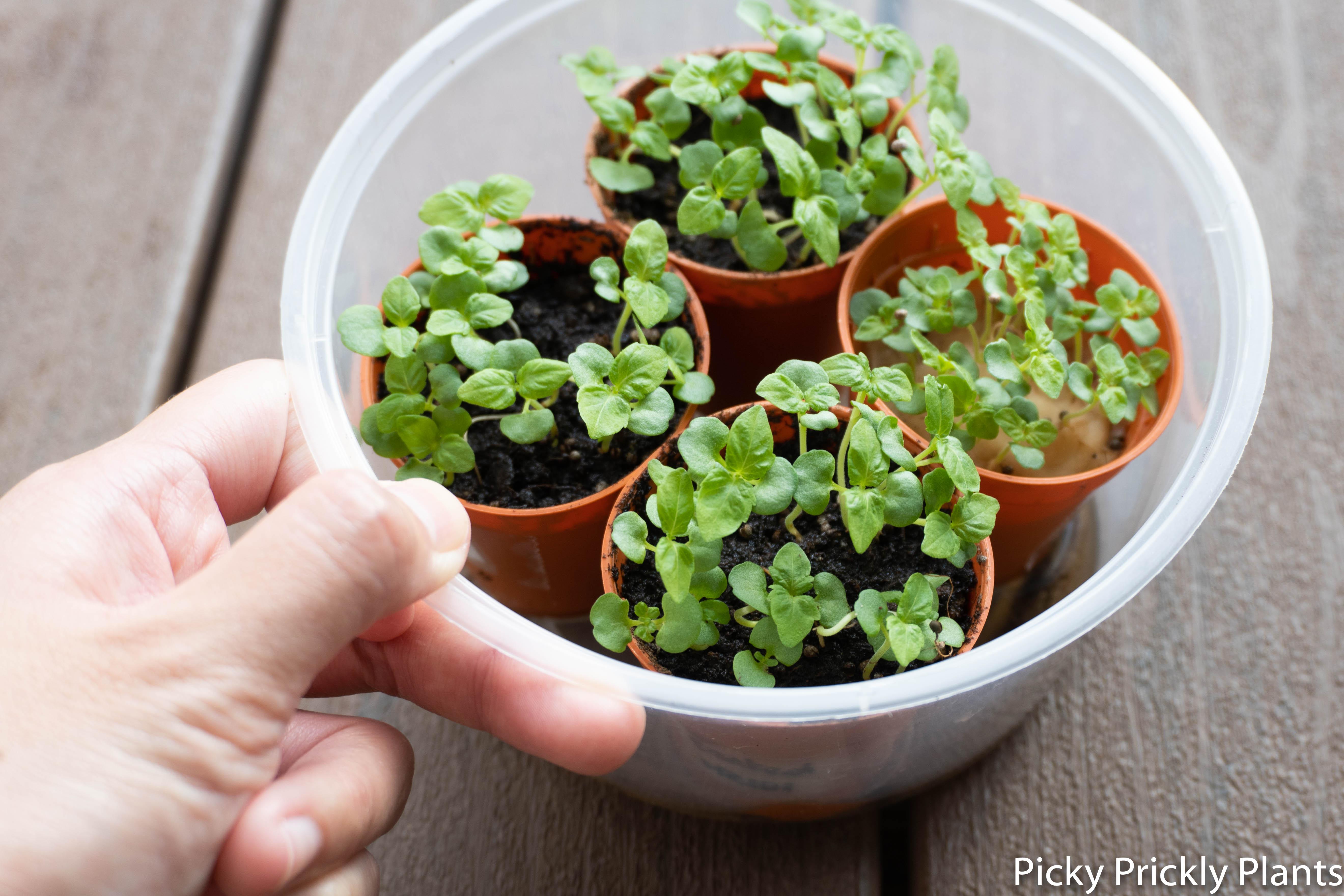 Shiso plant seedlings germination