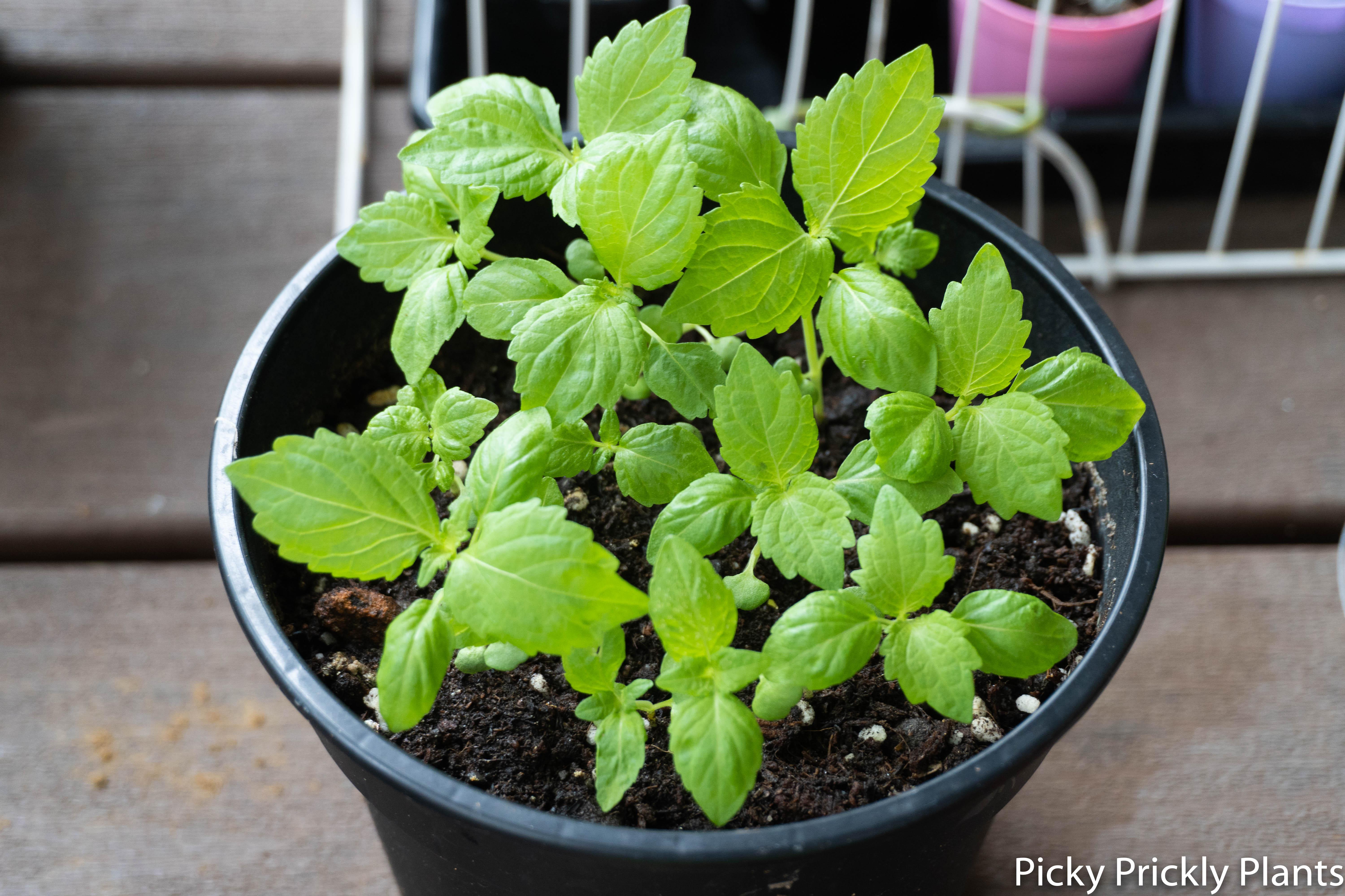 Shiso plant seedlings germinated with hb101 for 26 days