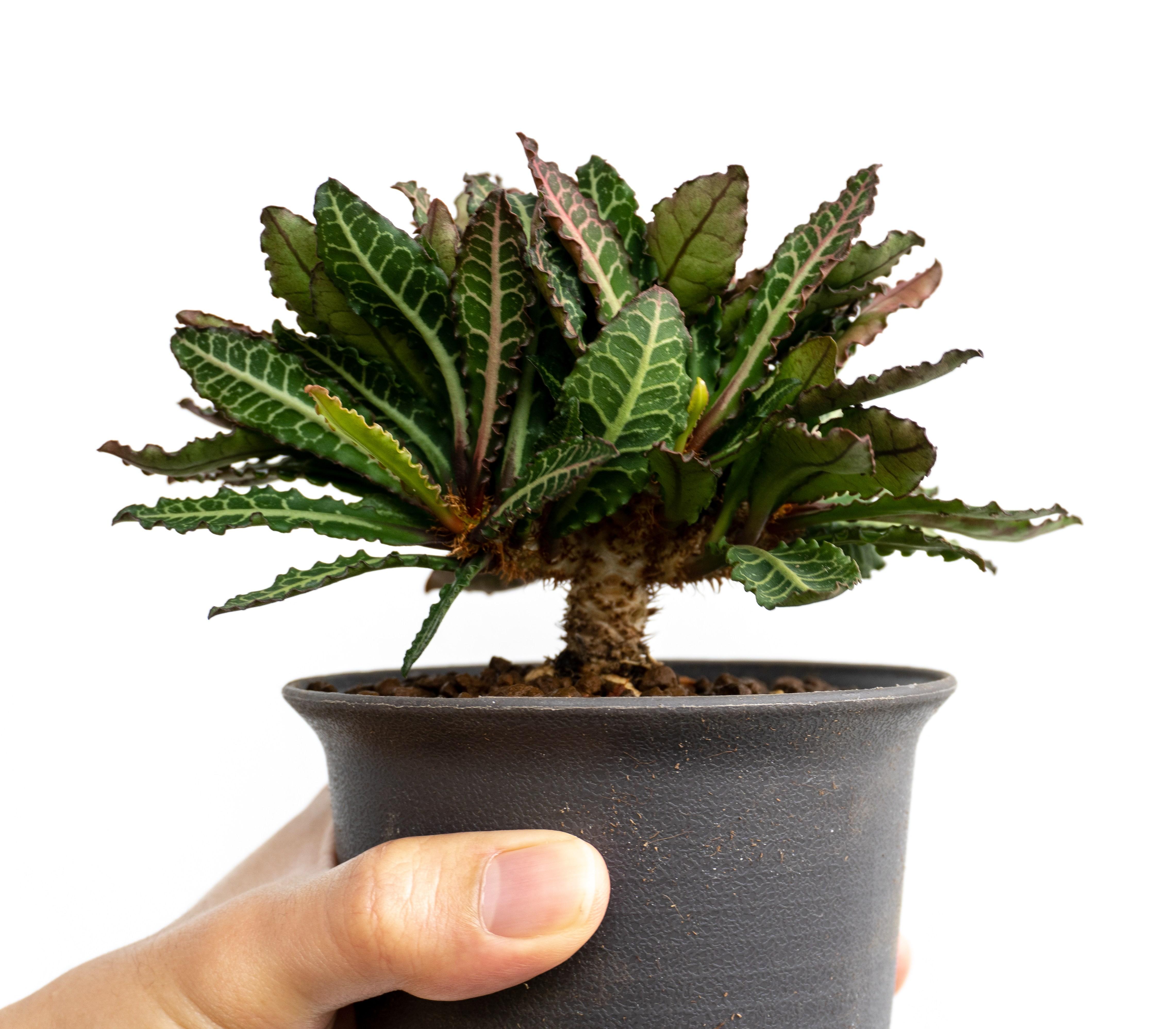 Euphorbia Francoisii potted to reveal caudex
