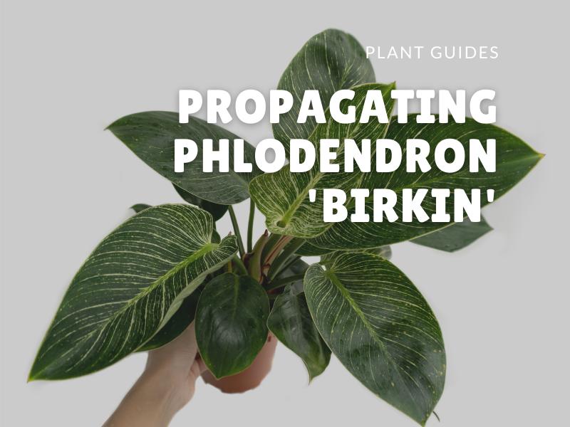 Philodendron Birkin Propagation