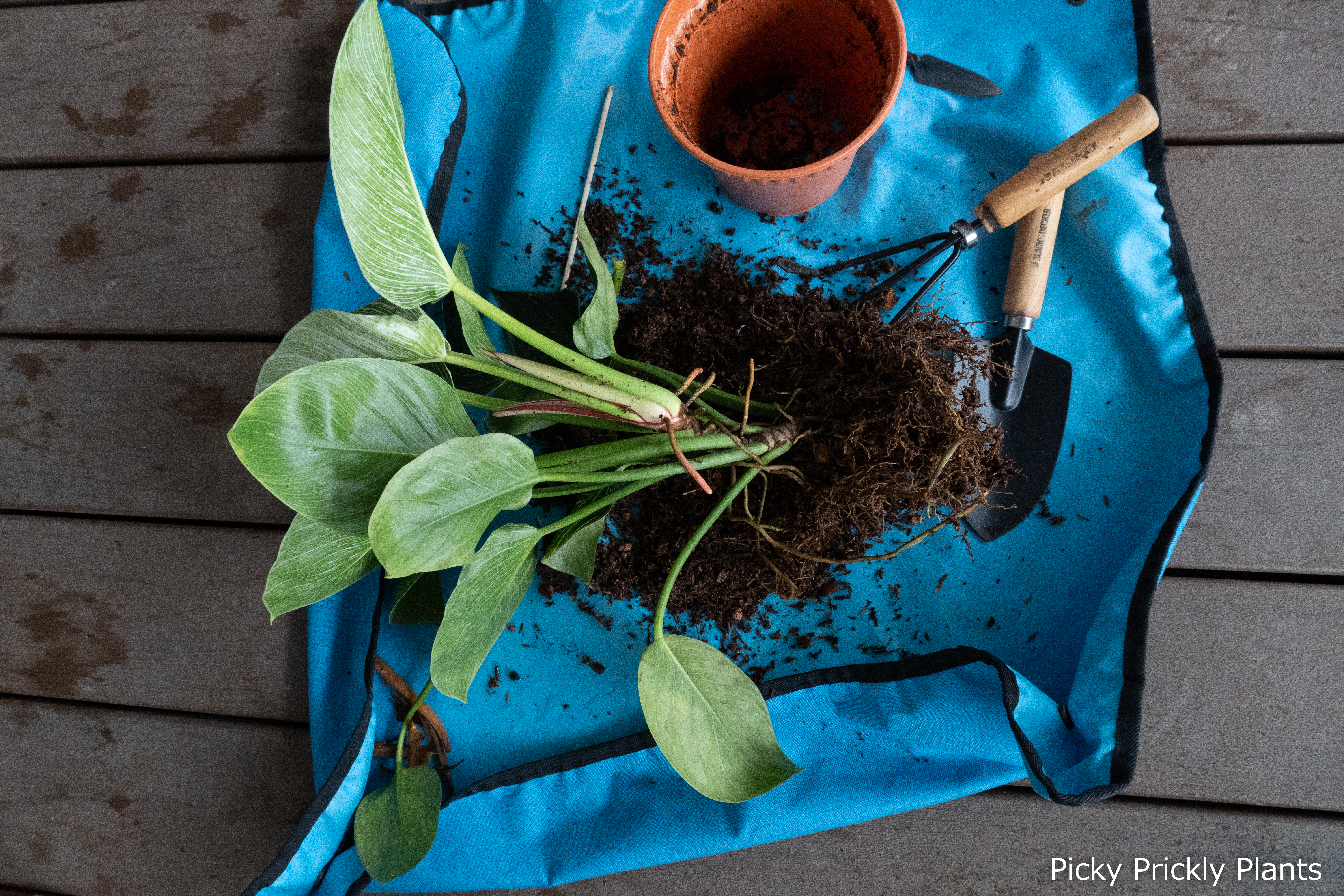Philodendron Birkin repotting and propagation