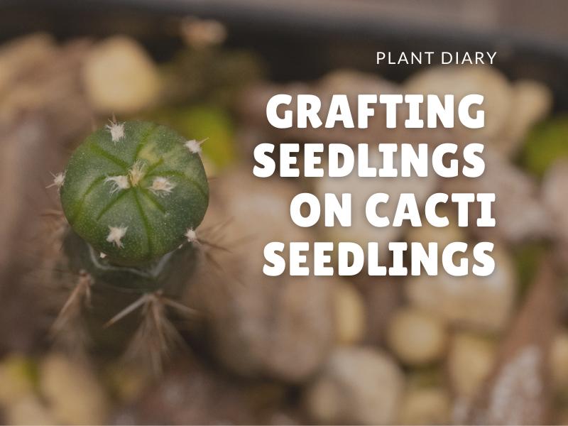 Grafting seedlings on cacti seedlings