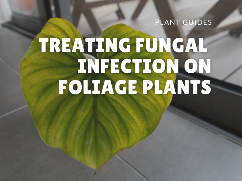 treating fungal infection on indoor plants