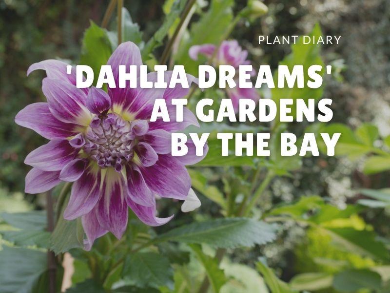 'Dahlia Dreams' at Gardens by the Bay