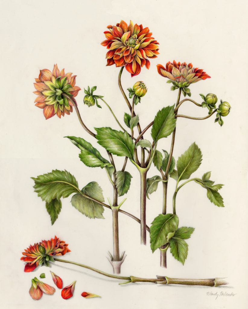botanical drawing of a dahlia