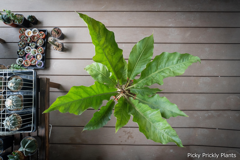 Anthurium Hookeri hybrid