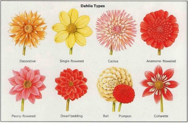 types of dahlia flowers