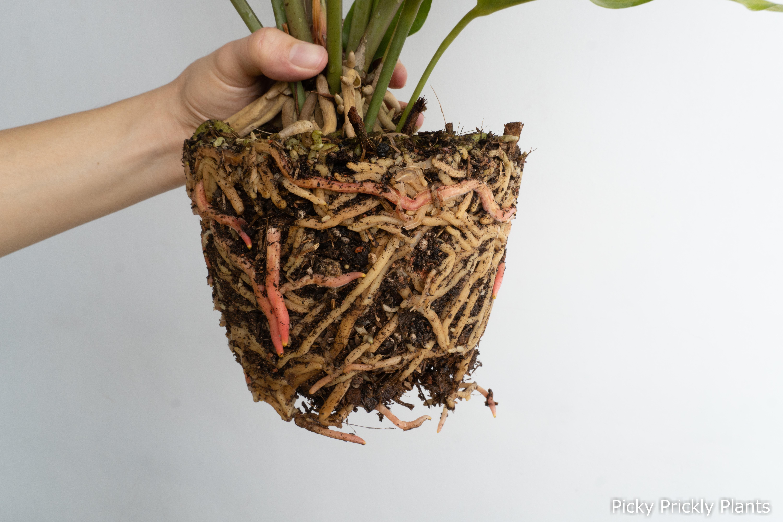 Roots of an Anthurium Hookeri hybrid
