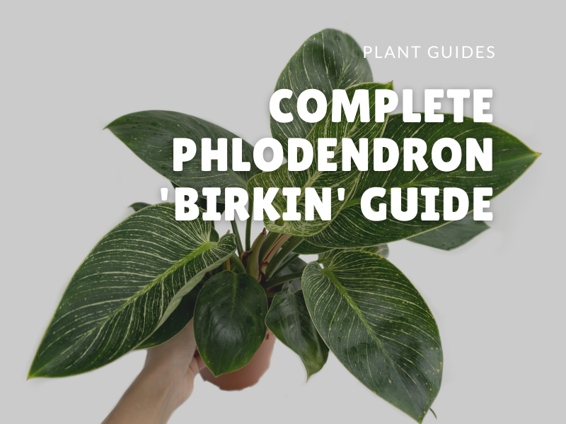 Complete Philodendron Care Guide