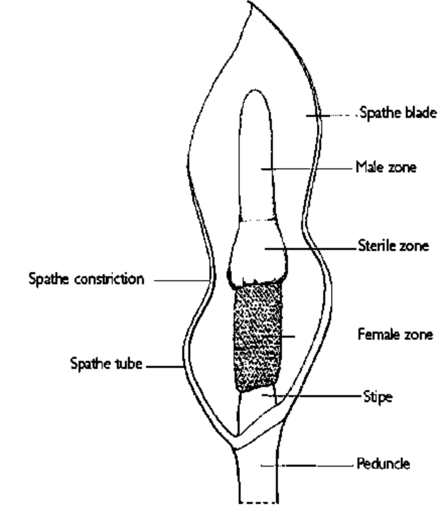 aroid flower anatomy
