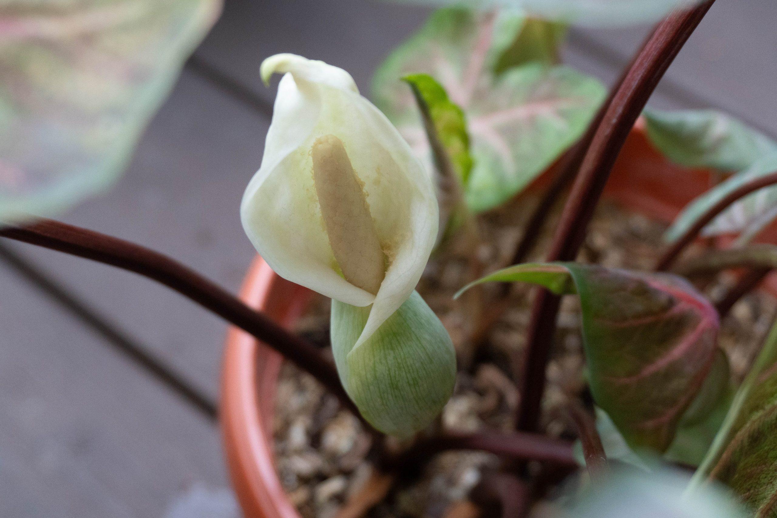 Caladium flower pollen