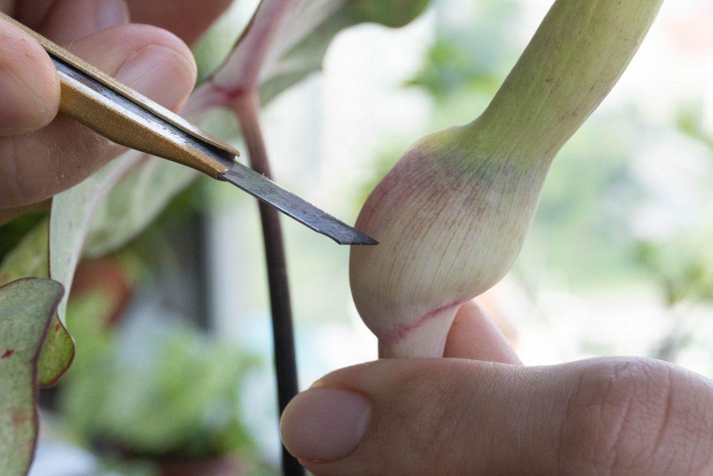 Pollinating caladium flower